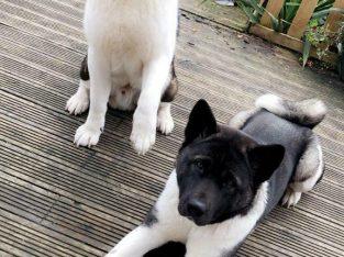 2 boys American Akita's puppies