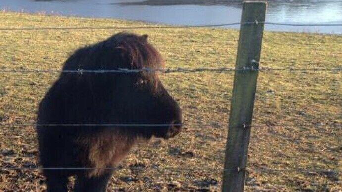 Shetland Gelding