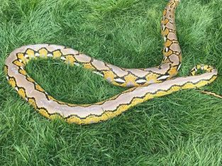 5 year old platinum reticulated python