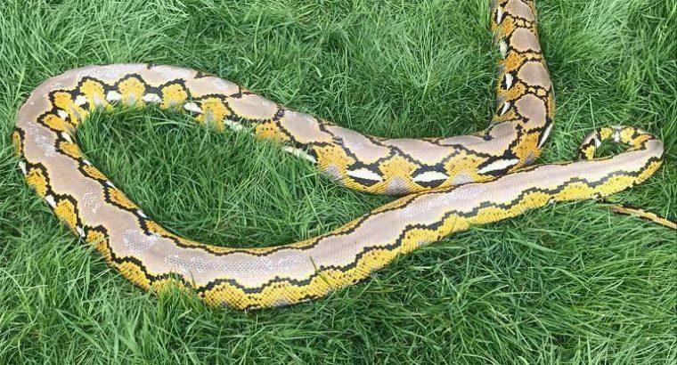 5 year old platinum reticulated python
