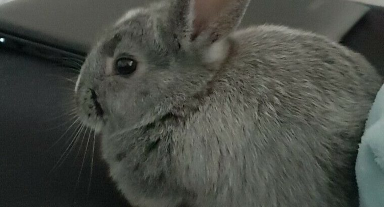 Young rabbit for sale