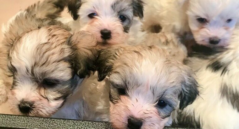 Stunning Malshi Pups puppy 3/4 Maltese 1/4 Shih Tz