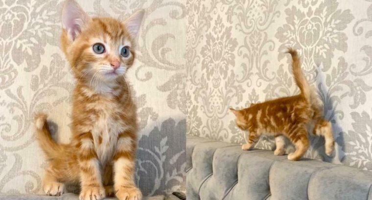 Half Bengal kittens 8 weeks old