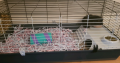 2 Male Guinea Pigs with cage
