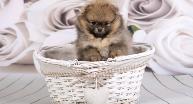 Elite bloodline Pomeranian female puppy for sale