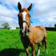 Irish sports horse
