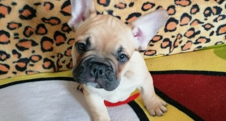 KC registered 5 generation pedigree French Bulldog puppies