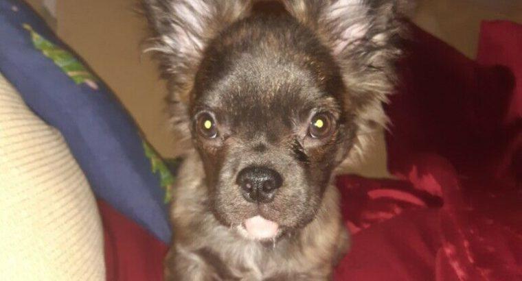 Chuawha x frenchie beautiful puppy