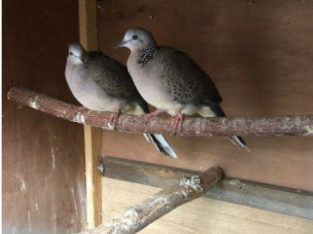 Chinese spotted doves (gugu paki)