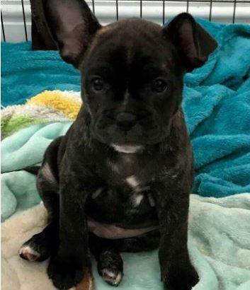 3/4 French Bulldog Puppy