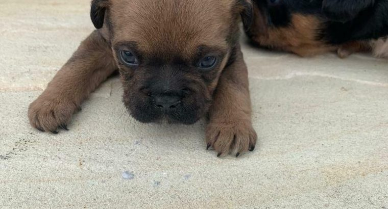French bulldog puppies (SOLD) sorry