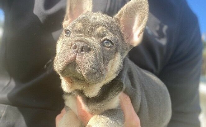 Lilac & Tan Female, French Bulldog, KC Reg