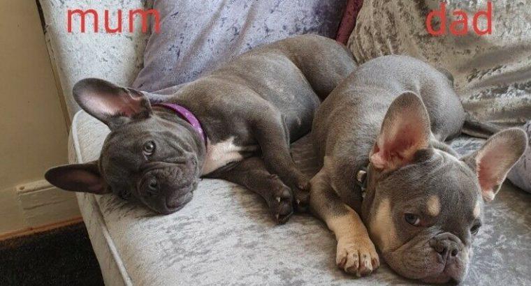 Amazing Frenchie puppies