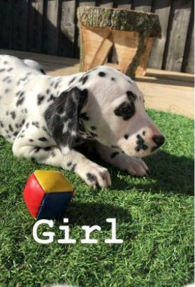 Stunning Dalmatians For Sale.