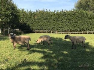 Hampshire Down Shearling Ram
