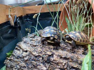 Tortoise spurthigh captive bred £80 Each