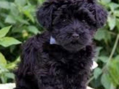 Looking for a black yorkiepoo puppy fron end of October 2020
