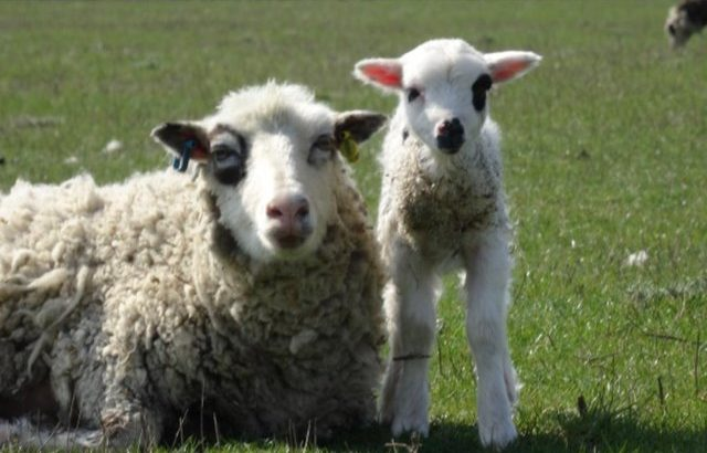 Shetland lambs for sale – wethers (castrated males)