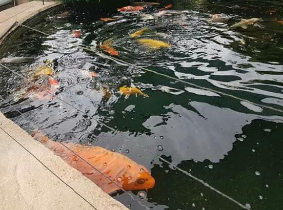 Harrogate koi carp Free Rescue centre