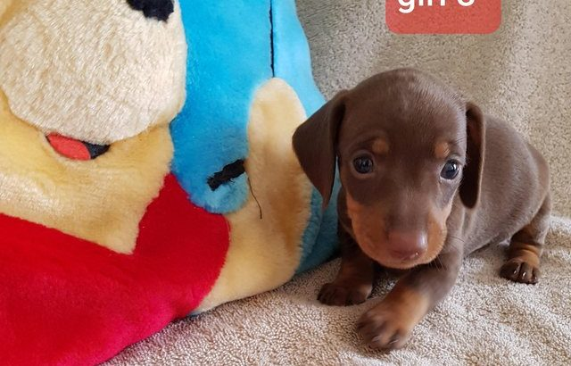 Quality.Home reared Minature Dachshund puppies £2500 EACH