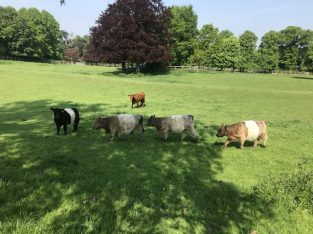 Pedigree Belted Galloway heifers for sale Price various