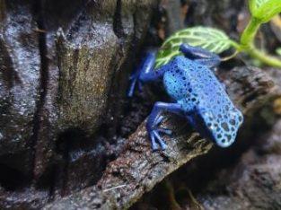 Azureus Dart Frogs