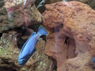 4 Adults Metriclima Membe Deep Malawi Cichlids £40 ono
