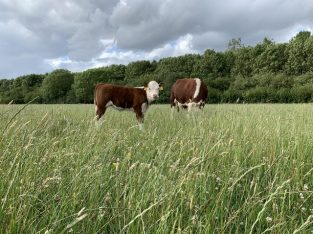 'Miniature type' Hereford Cattle Bulls £750 ono