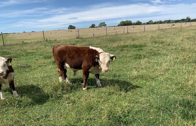 'Miniature type' Hereford Cattle Bulls £750 ono