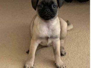 Female Pug Puppy for sale