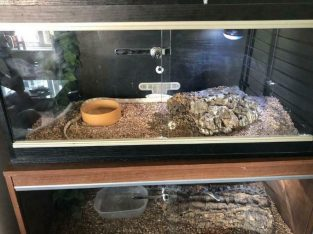2 corn snakes for sale