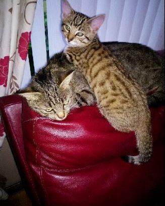 Missing kitten, Erskine.