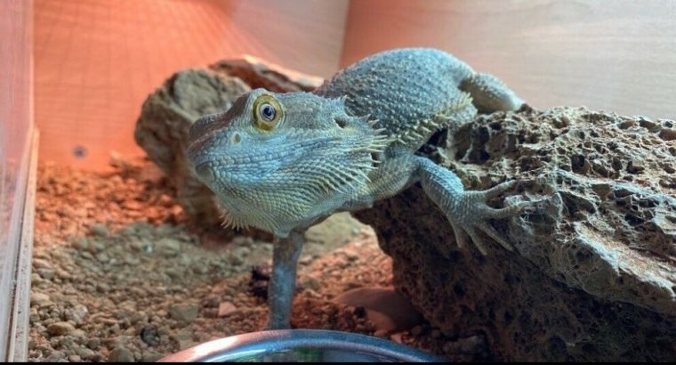 3 Year Old Bearded Dragon