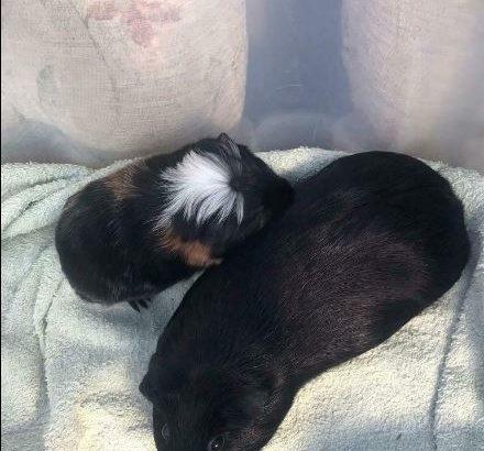 Baby guinea pigs 2 x boys & 1x girl