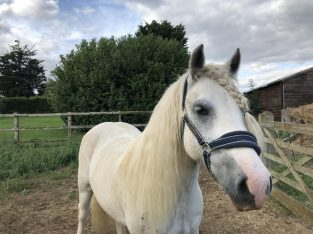 Small pony wanted £590 ono