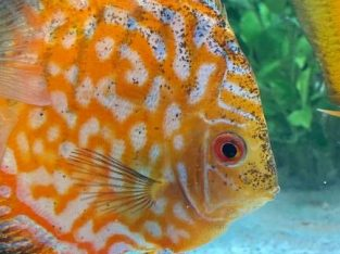Checkrboard discus 4-5 inch available