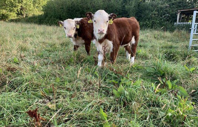 'Miniature type' Hereford Cattle Bulls £650 ono