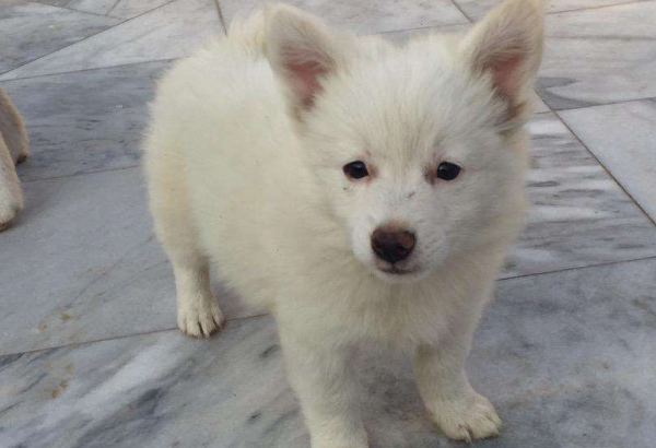 russian puppy for sale