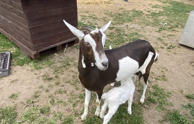 milking goats and Raw frozen Goats Milk for puppies