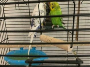 2 budgies with cage + accessories + 6 months of food!