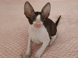 Cornish Rex kitten available for recerve no offers