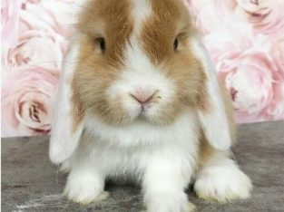 Mini lop little boy