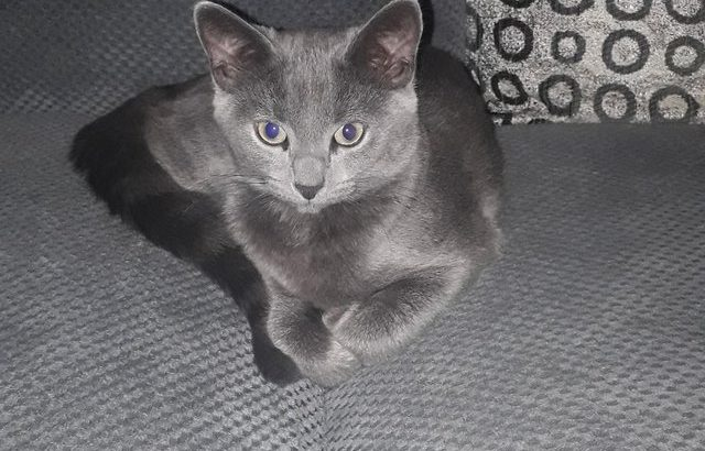 Stud Wanted For Female Russian Blue