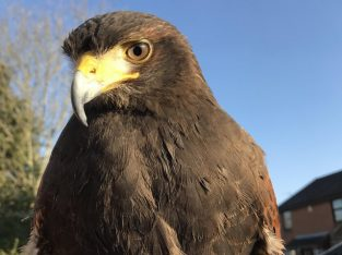 Private land wanted to fly my Harris Hawk
