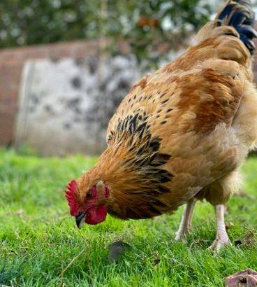 16 week old cockerels Sussex X