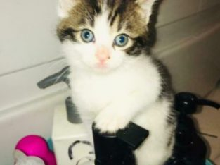 Lovely and Beautiful loving kitten