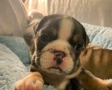 Bulldogs DOG puppy's Beautiful