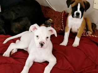 Only white female of stunning litter of Boxer Pups