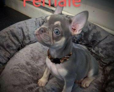 Female French Bulldog For Sale!