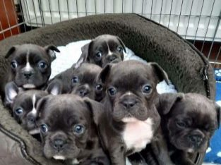 Blue french bulldog Stunning and beautiful puppies